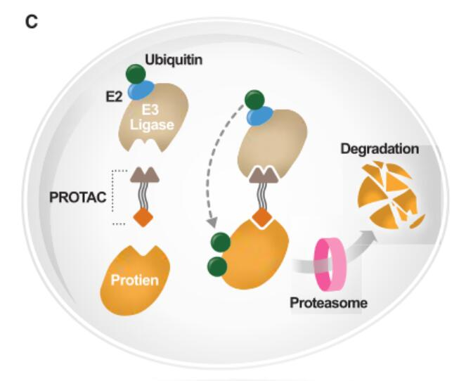 Proteolysis-targeting chimeras (PROTACS)